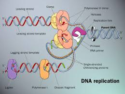 dna rep
