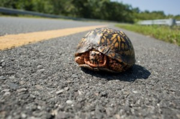 Turtle warms up on the highway.