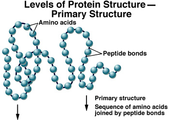 """Amino acids a linked in a chain of bonds. The """"peptide"""" bond allows the functional part of the amino acids to """"stick out"""" from the chain. These function groups interact with each other and with other biochemicals to create """"metabolism"""" which we recognize as """"life"""" in the cell."""