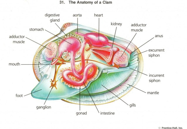 The Anatomy of a Clam. Simple?