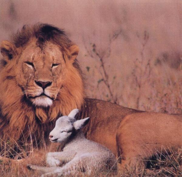 Lion resistant sheep!