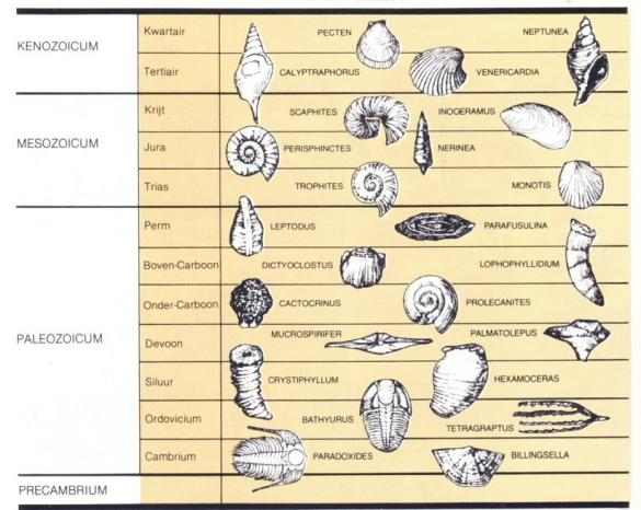Assuming the clams and other bivalves, trilobites and other marine invertebrates evolved and that sedimentary rates of the geologic column were no greater over 4 billion years than they are today, the rock is dated by the fossil shell. When that is not possible the fossils are dated by the rock. (?) Confused? Me too!