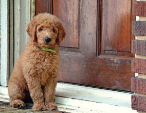 Chatham_Battles f1b red goldendoodle