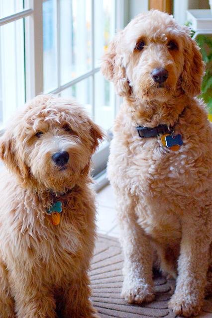 Goldendoodle Vs Labradoodle Comparing Traits