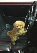 denver---Goldendoodle-toy-puppy