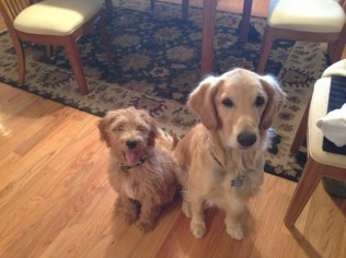 Bo_Eckard_mini_goldendoodle_with_his_big_sister