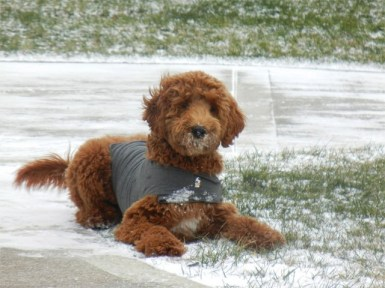 Buddy_Grace_f1b_Ember_x_Parker_puppy