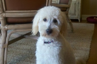 Lilly_Moore_Goldendoodle