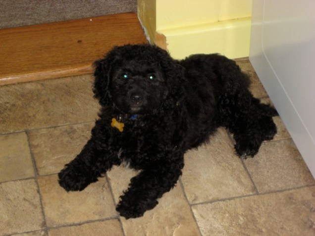 Rocky_Top_Smith_f1b_mini_goldendoodle_Sitka_puppy