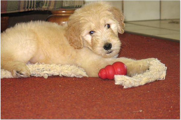 goldendoodle puppies for sale charlotte nc
