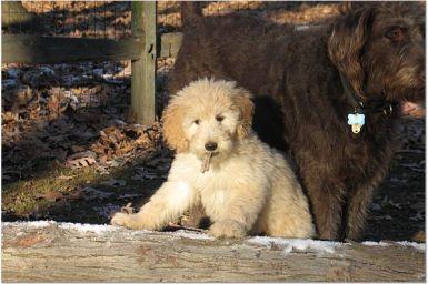 Creme Goldendoodle puppy