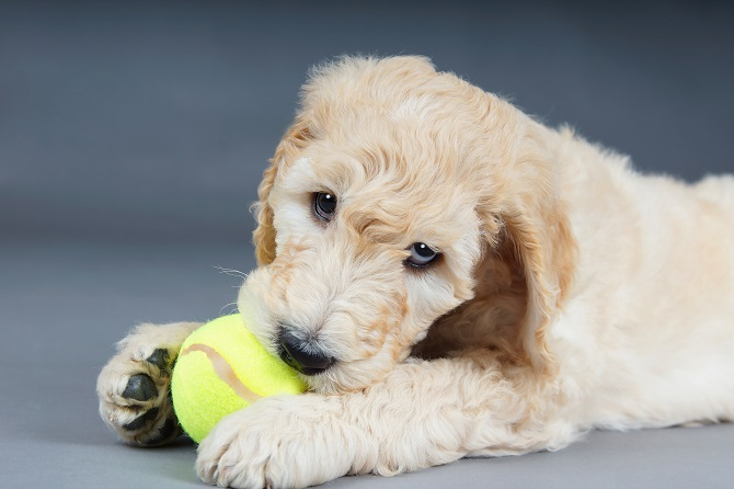 Blueridge Goldendoodles goldendoodle great service dog