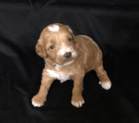 blue ridge goldendoodles sevierville tennessee toy breeder
