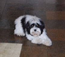 Lucy---parti-Cleo's-fireball-pup-black-and-white-parti-petite_toy-goldendoodle-