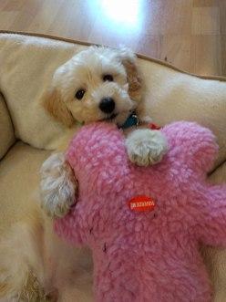 cute-goldendoodle