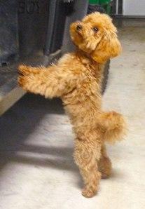 pippi-toy-mini-goldendoodle-3