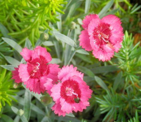 Crinolated Pinks