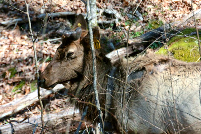 A roadside male Cataloochee Elk, one of 52 Released in 2001