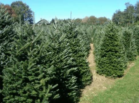 Appalachian Evergreens