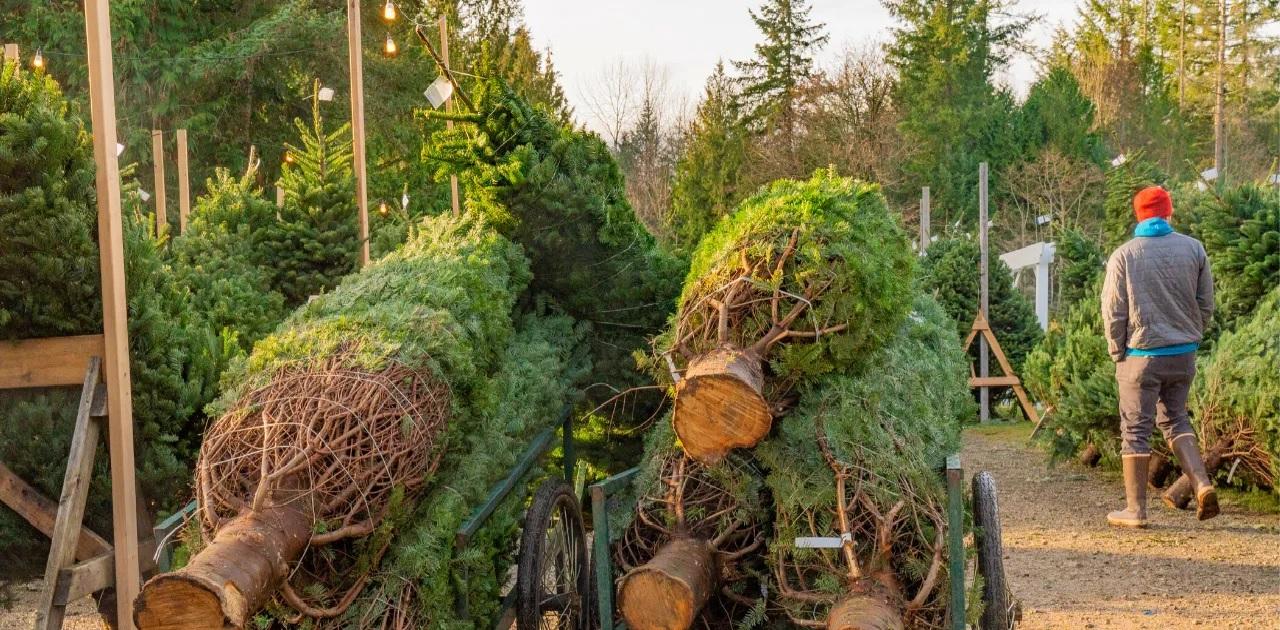 Best Western NC Christmas Tree Farms