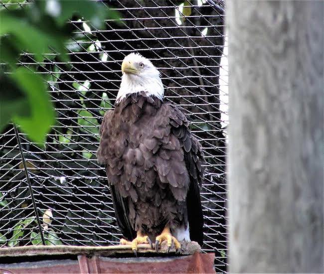 Bald Eagle at Chattahoochee Nature Center