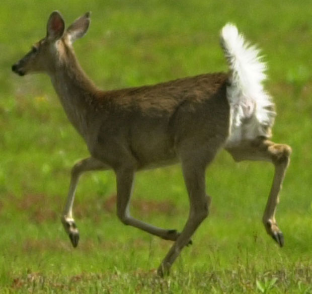 With the tail flying the deer is running.