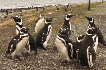Blue Sky and Wine, penguins in Magdalena, chile