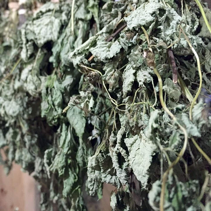 lemon balm in the drying room | Blue Skys Farm | Cranston, RI