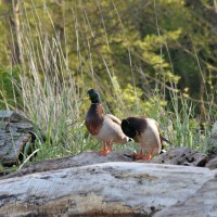 Ducks Life