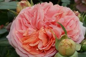 bluete_rose_rosa_gruen