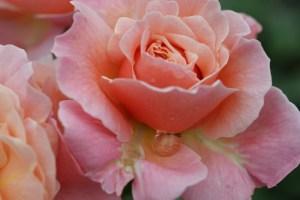 bluete_rose_rosa_wassertropfen