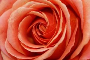 bluete_rose_rot