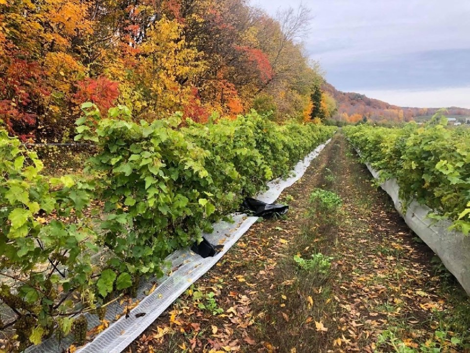 Thieves made off with half a ton of grapes plucked right from the vines at the Coteau Rougemont vineyard in Canada's Quebec province - Anne-Sophie THILL / ©AFP