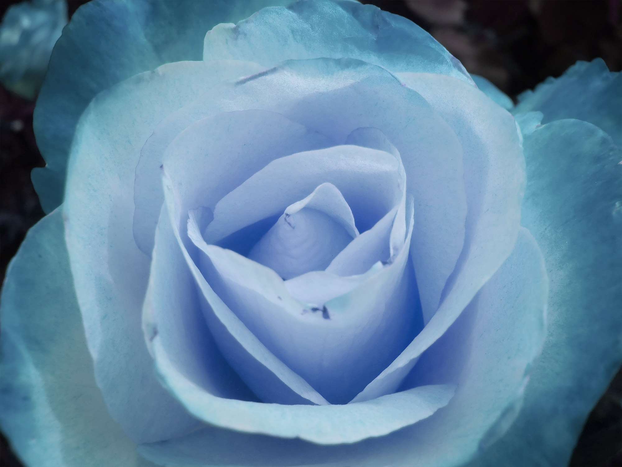Blue Winter Roses - ASOIAF
