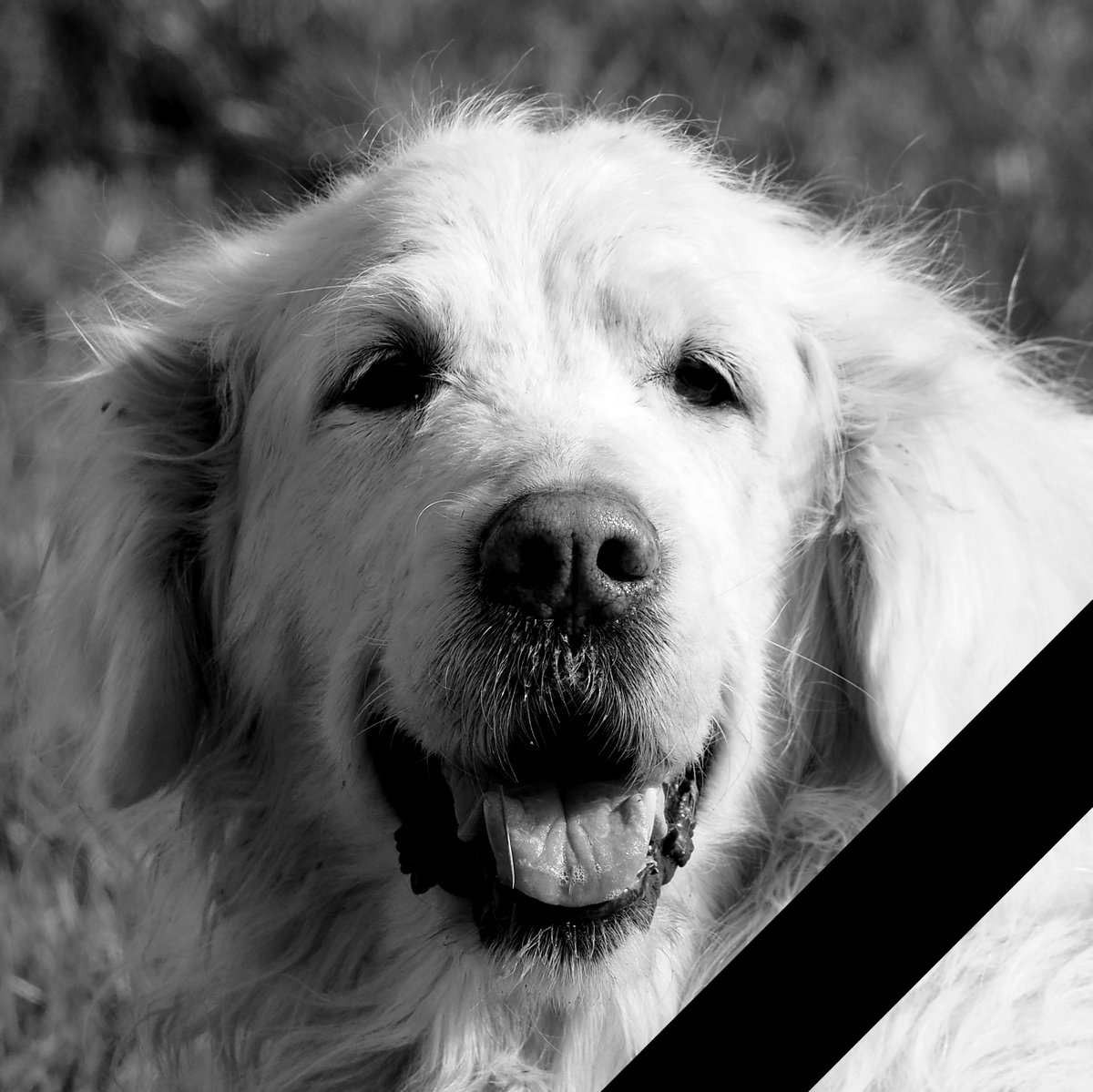 Retriever Finja