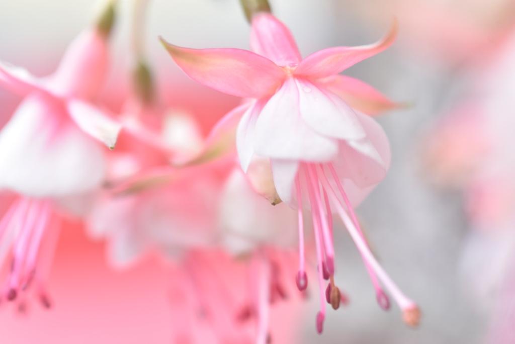 Fuchsia-Postkarte_292