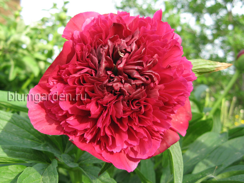 Пион лекарственный Рубра Плена (Paeonia Officinalis Rubra Plena)