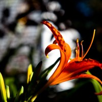 Standing Proud - Orange Flower | Blurbomat.com