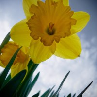 A Daffodil Fighting the Cold | Blurbomat.com