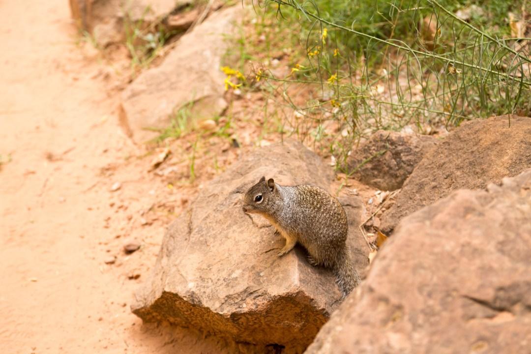 Chipmunk in Zion National Park.