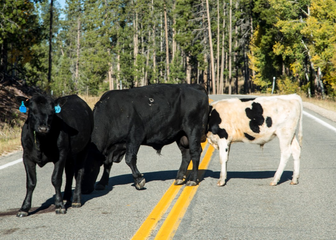 Cows block the highway on Utah Route 150, Mirror Lake Scenic Highway. September, 2015.