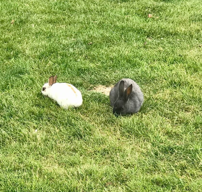 Adorable bunnies that are everywhere in Canmore, Canada