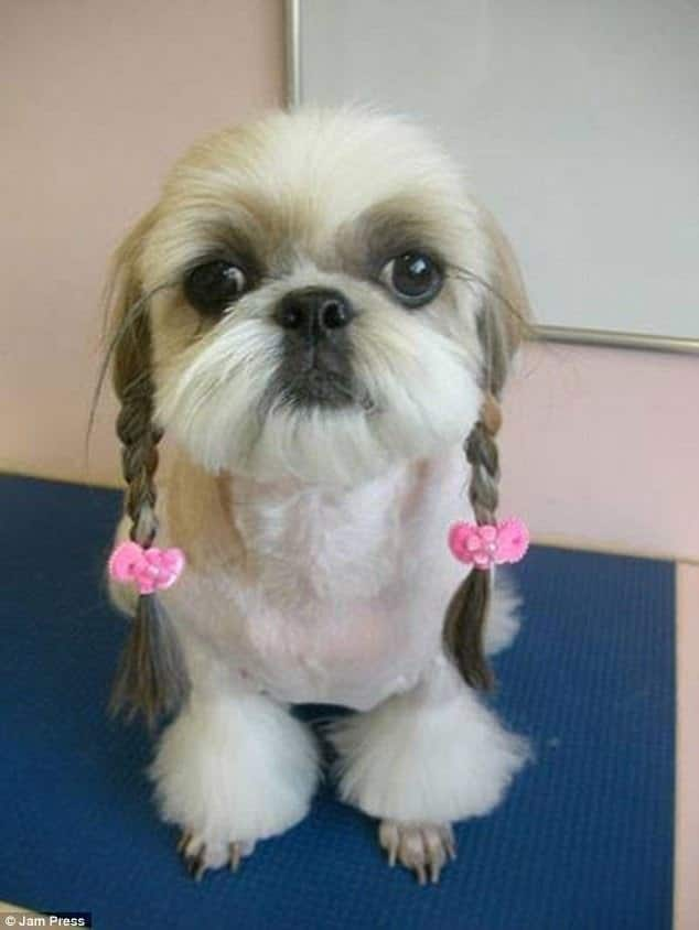Lawn Owners Are Proud To Show The Craziest Haircuts Of Their Dogs 1