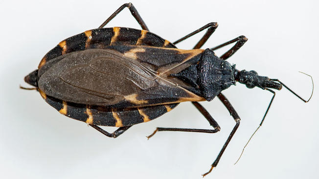 Be Aware Of The Tiny Kissing Bugs Killing Dogs And Children 7