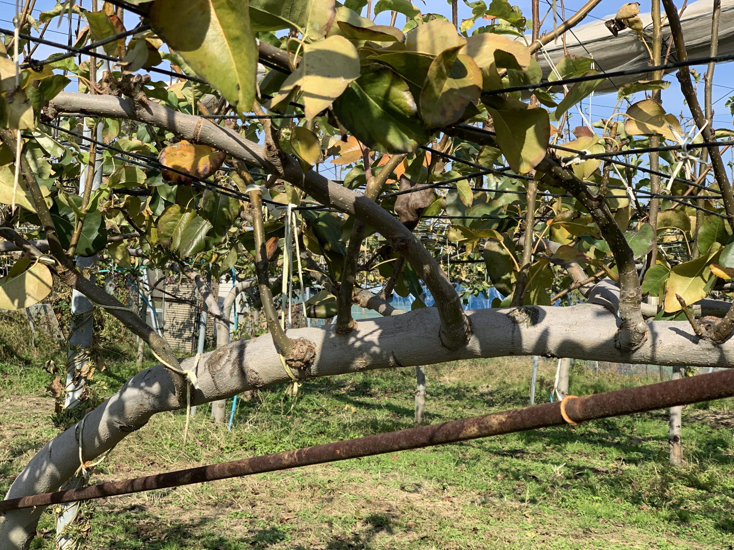 梨の枝の 剪定後の後継の枝を育てる