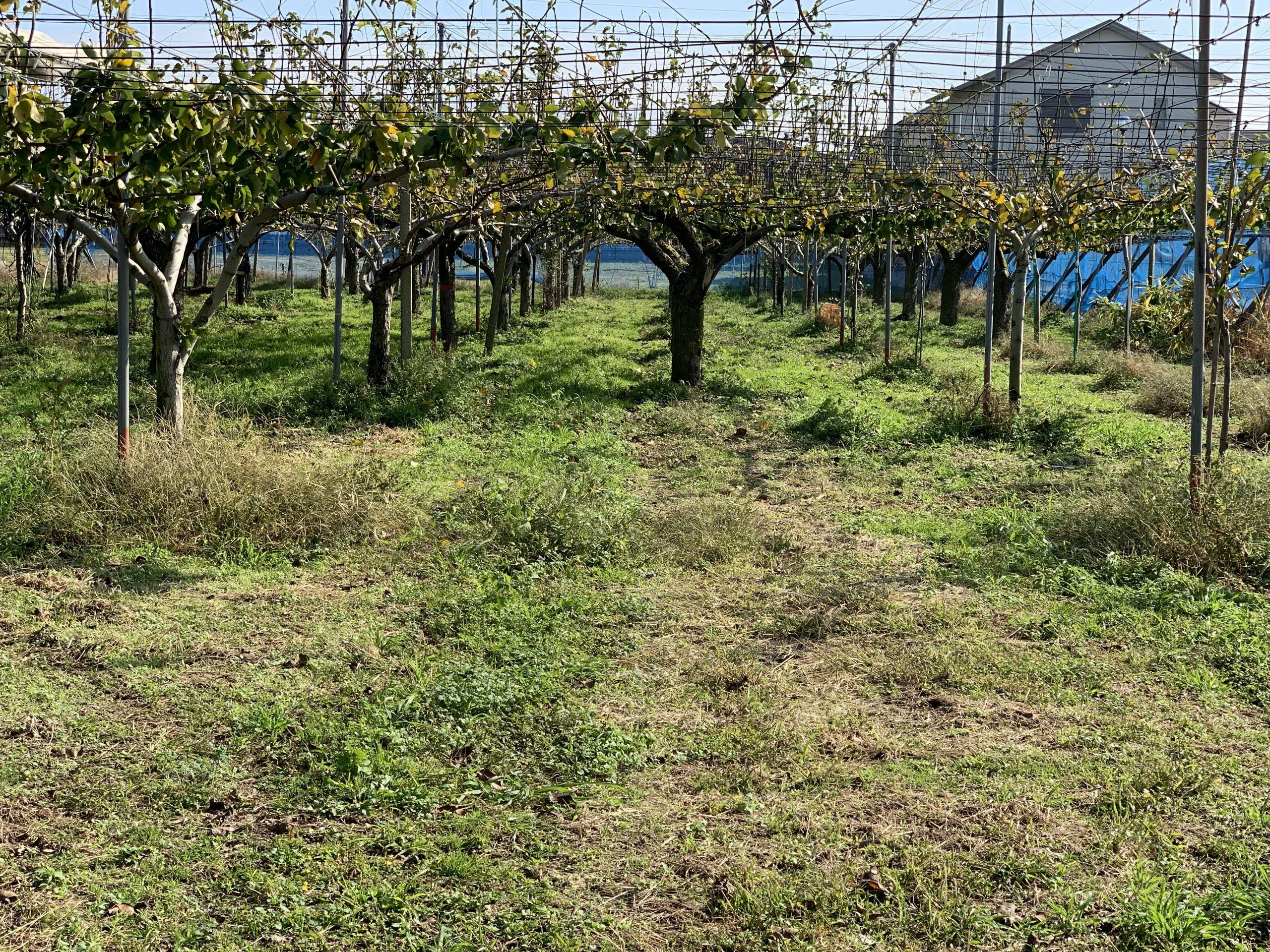 土を考えて雑草を梨畑に生やしておく
