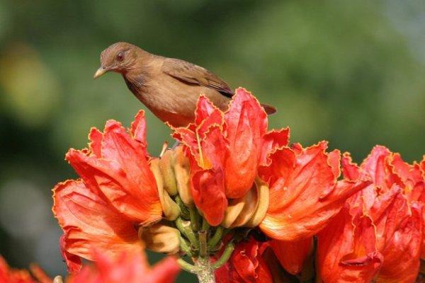 Африканское тюльпановое дерево - bigmir)net