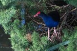 A Pukeko in a pine tree (above a pond)
