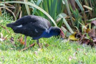 Pukeko poking around for food