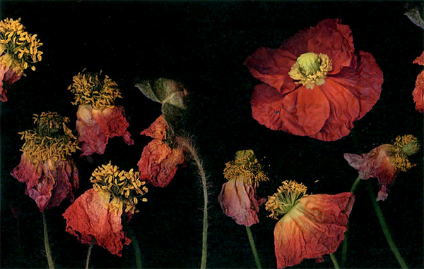 """Poppy Garden"" Photography with a Scanner as a Camera. Archival Digital Print. Bob Creamer"